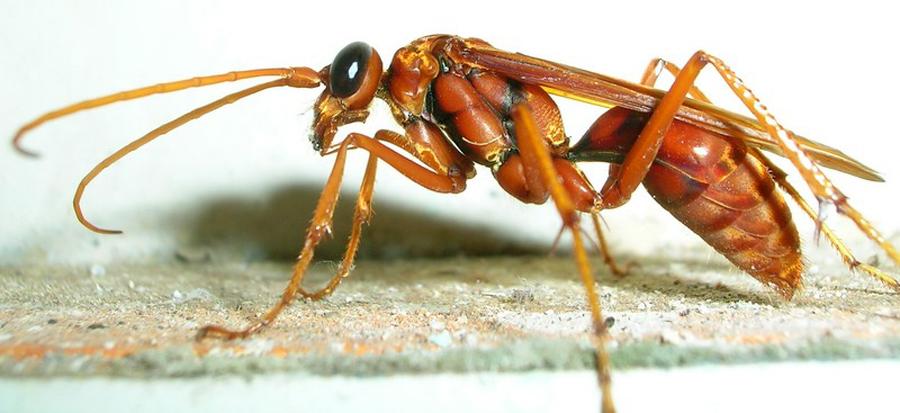 Wasp_talakaveri