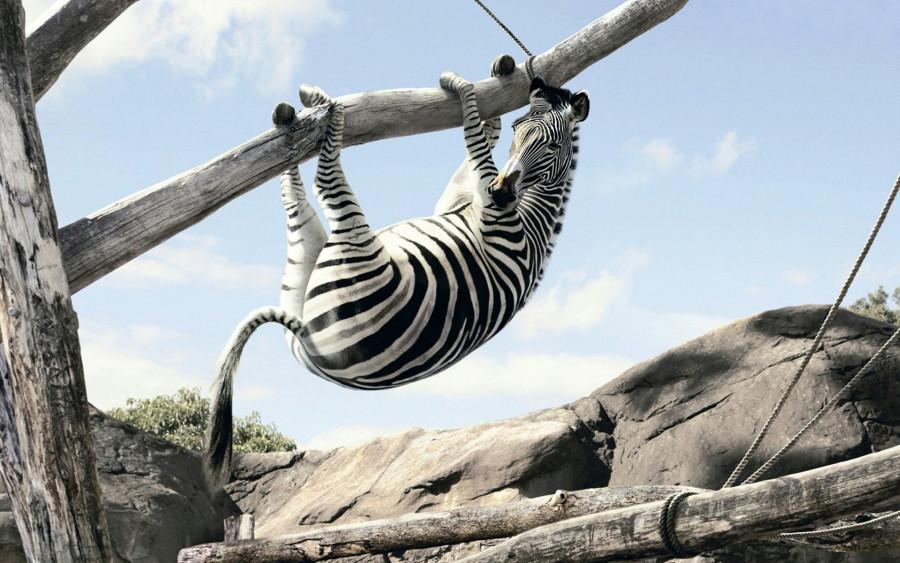 zebra-akrobat_1920x1200