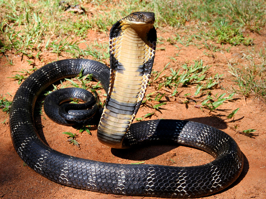 12_-_The_Mystical_King_Cobra_and_Coffee_Forests