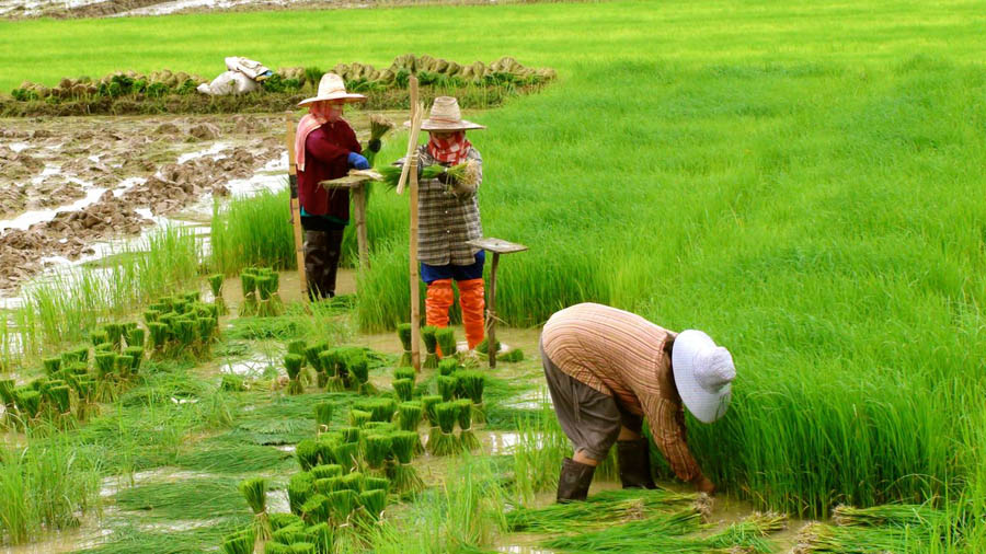 rice-farmers-near-fang